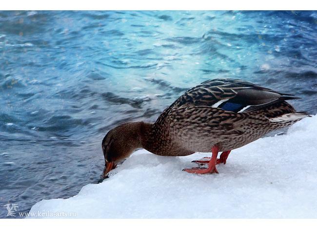 winter ducks II by Keila-the-fawncat