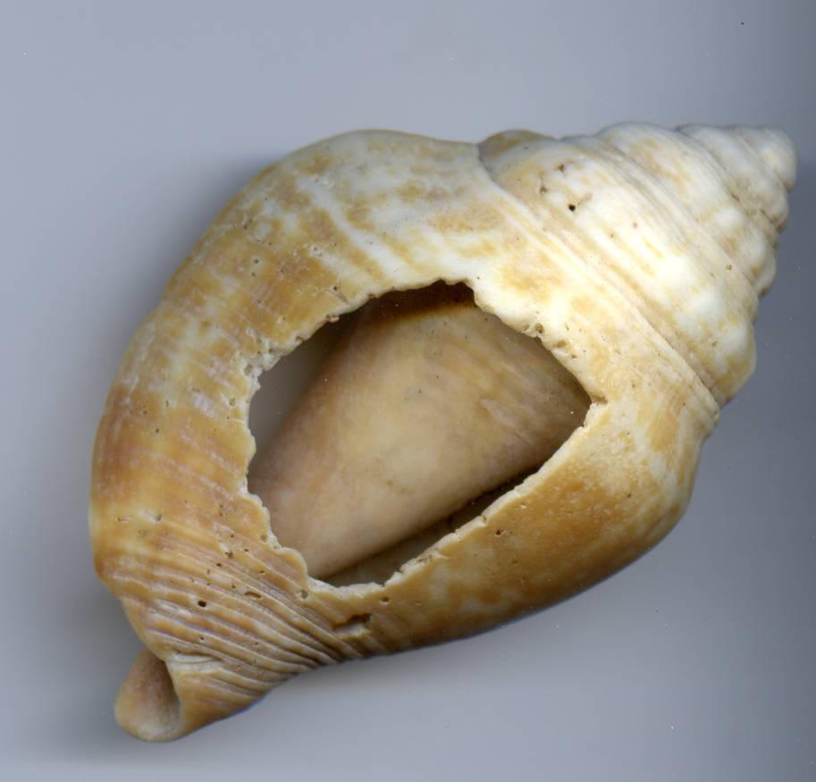 Stock Broken Spiral Shell by Limner-stock