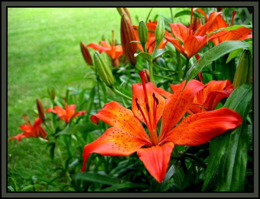 tigerlillies  explore tigerlillies on deviantart, Beautiful flower