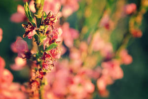 Apricot II by ladyang