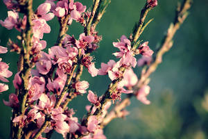 Apricot IV by ladyang