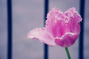 Pink tulip by ladyang