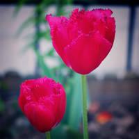 Pink tulips II by ladyang