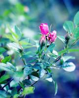 Roses by ladyang