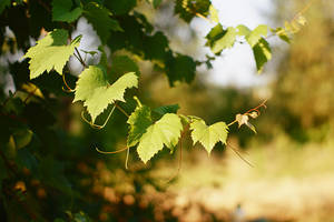Leaves of the grape by ladyang