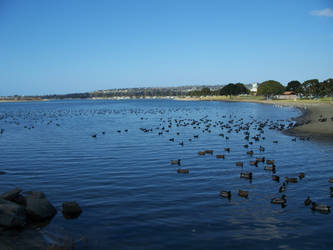 The Ducks of Mission Bay by athenaarion
