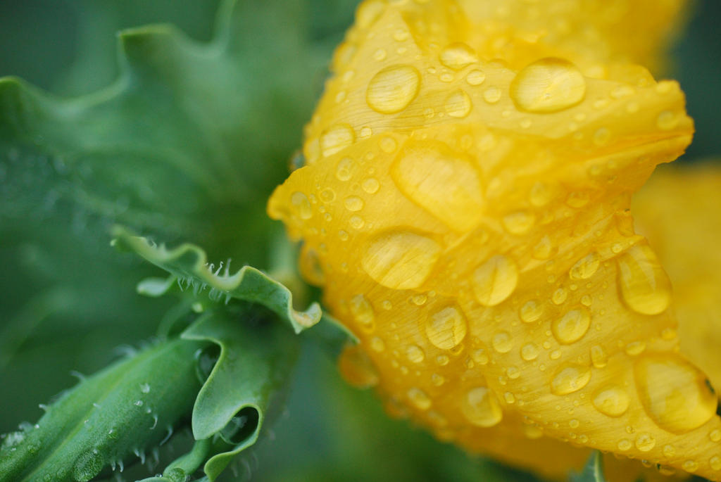 Just  a yellow poppy by draco-datura