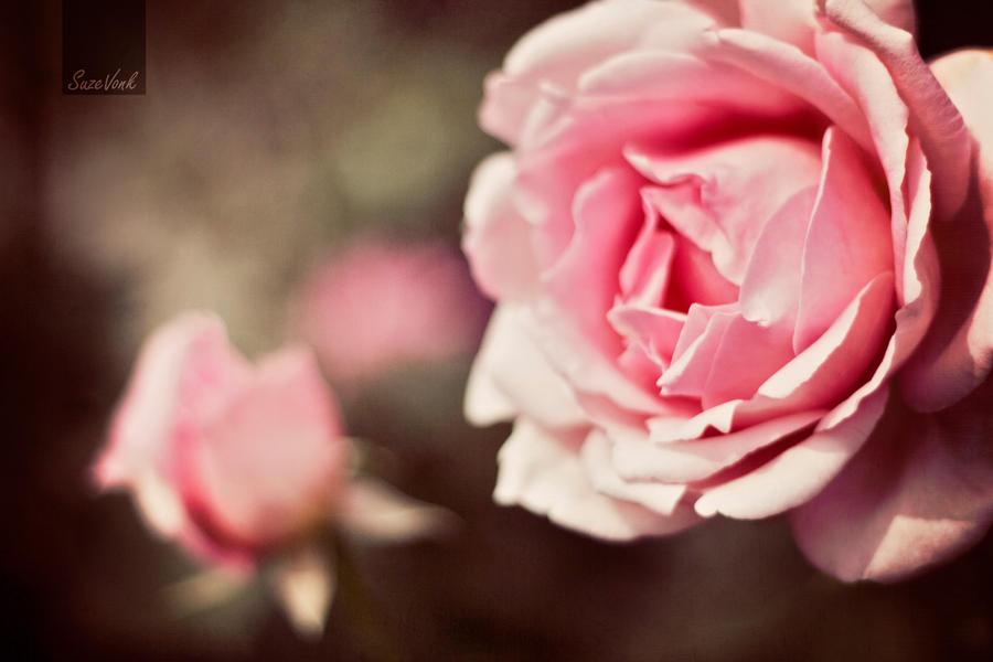 Old roses by Soeky148