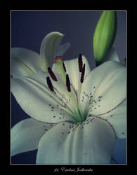 My own Lily