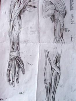 Anatomy Study : Arm Muscles