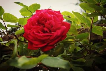 Rose by Lizzylovertjuhh