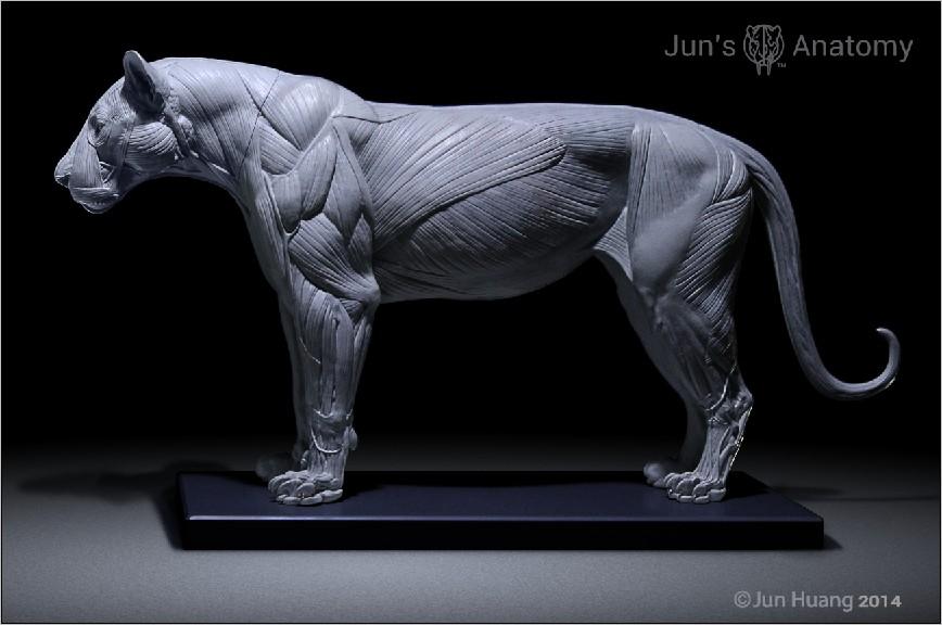 Lion Anatomy Closemouth Muscle Anatomy Model by JunsAnatomy on ...