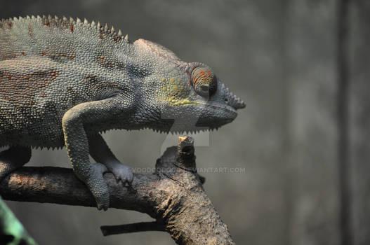 Chameleon again