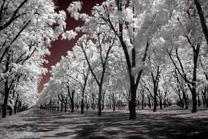 Infra Orchard by Ravncat