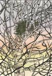 Misteltoe in Silver Birch