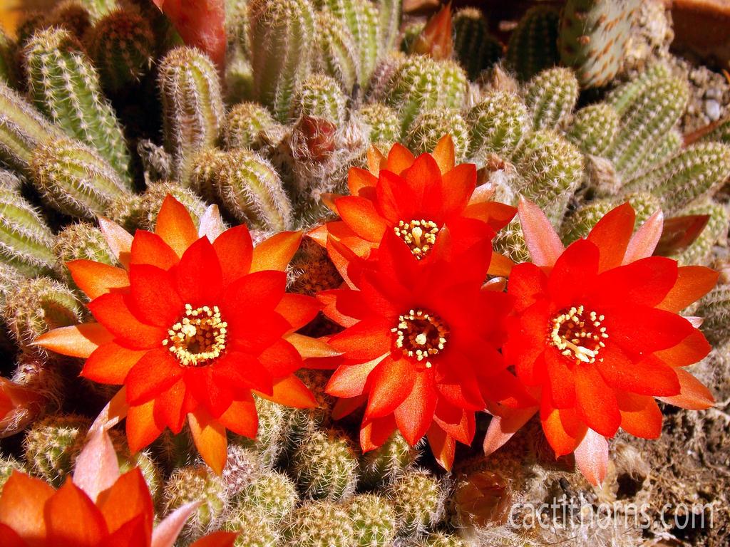 Chamaecereus silvestrii by CactusThorns