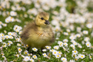 A gosling amongst the daisies