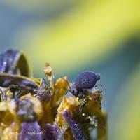 Springtail by hellfirediva
