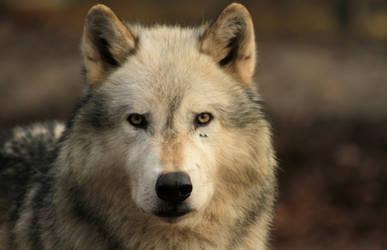 Portrait of a Wolf by CaroKurrawa