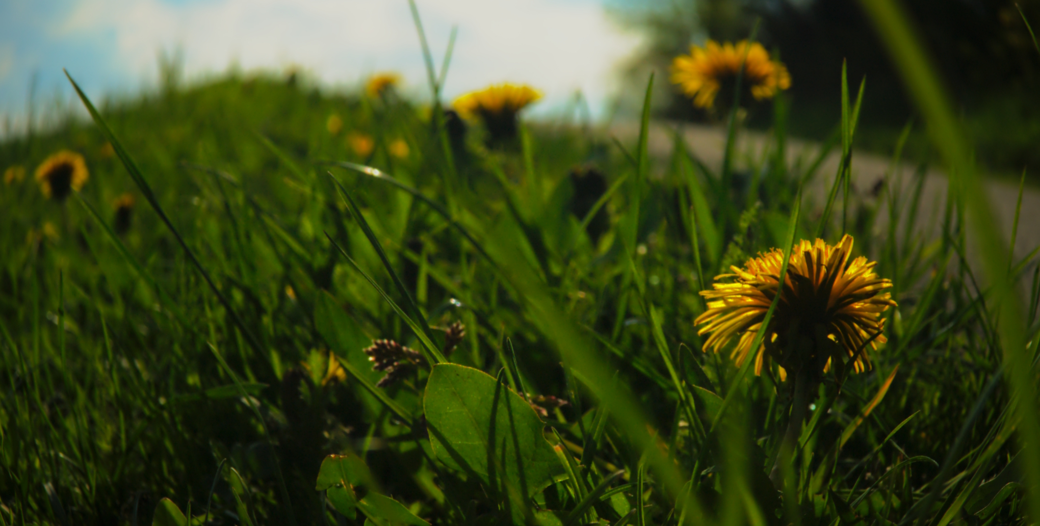 Dandelions 1 by LadislavZajic