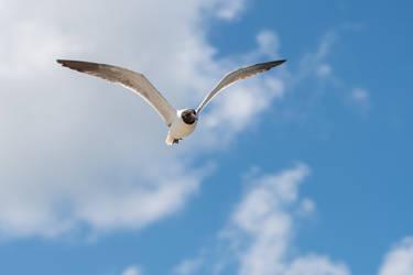 Flight - Laughing Gull