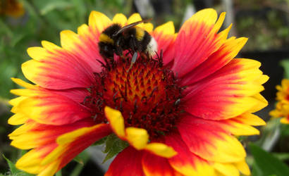bumblebee by aenntchen