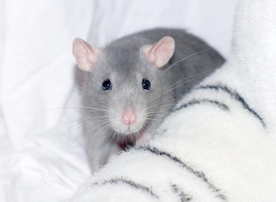 Rat Miyu - 6 by anahata-rattery