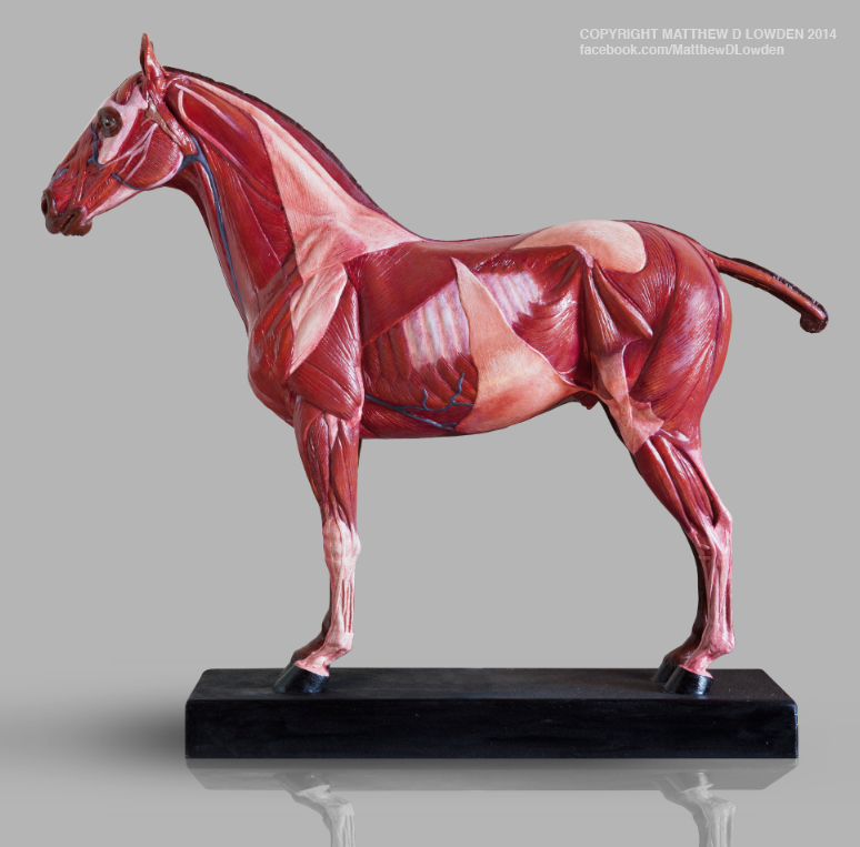 Equine reference model by MattDLowden