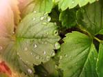 drops on strawberry leaf