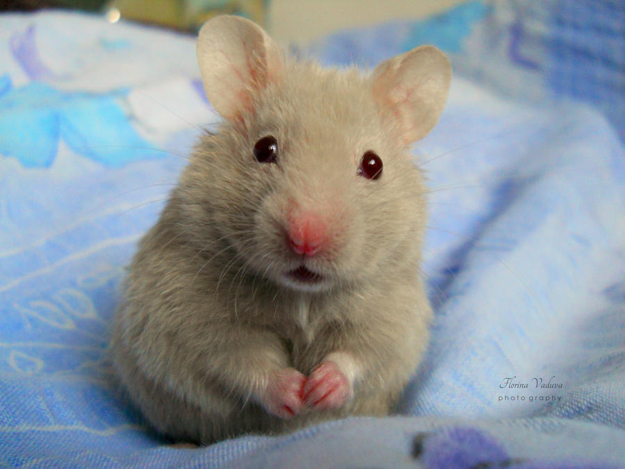 funny hamster by florina23