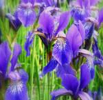 flame iris