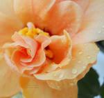 orange hibiscus 2