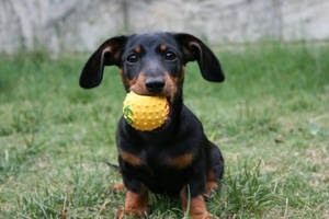 Sausage Dogs Have Small mouths