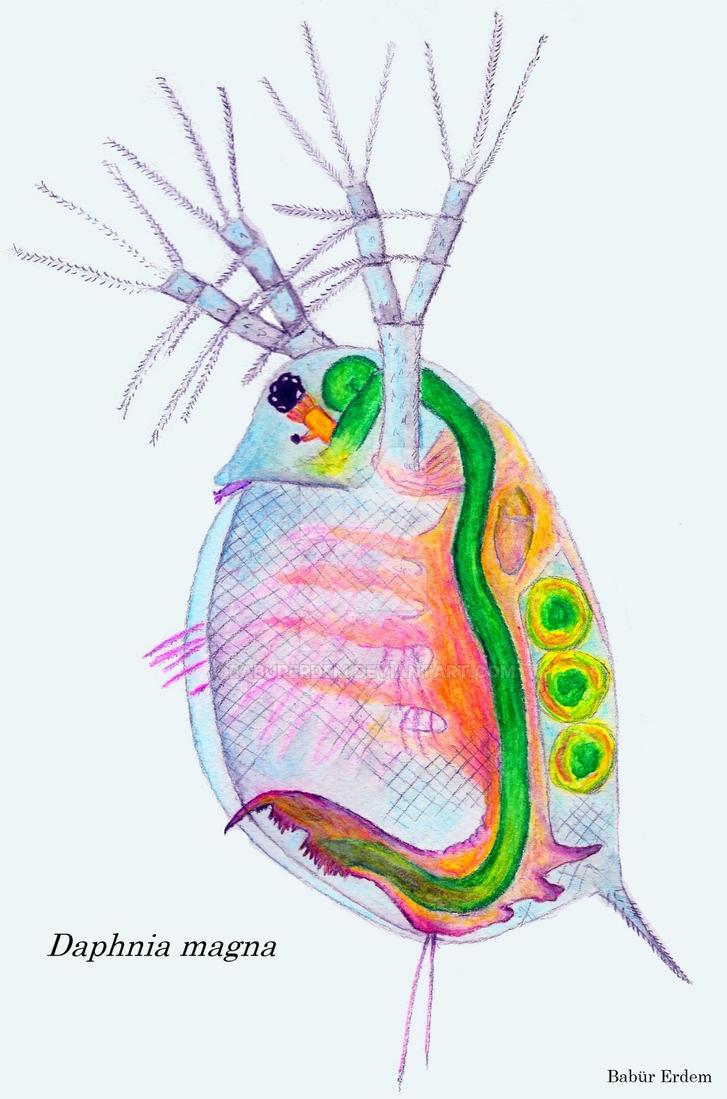 Daphnia magna (Water flea) by baburerdem on DeviantArt
