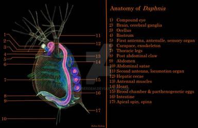 Anatomy of Daphnia (Water flea) by baburerdem
