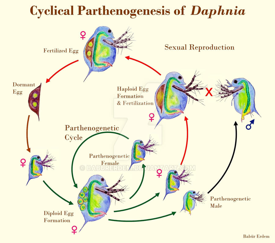 Reproduction Cycle Of Daphnia Water Flea By Baburerdem On Deviantart