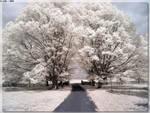Trees Of White 2