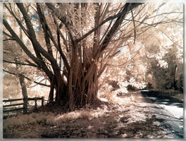 Big Tree by JohnK222