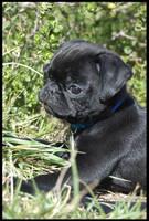 Pug Puppy by angelofdarkbeauty