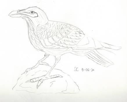 Thinking Raven