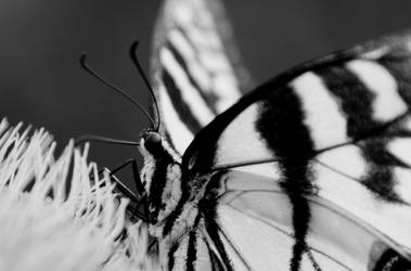 B and W butterfly