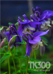 Aquilegia spring magic by TonyTK300