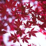 red leaves. by simoendli
