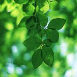 green leaves. by simoendli