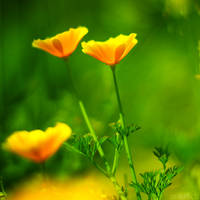 yellow poppy. by simoendli