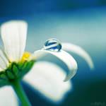 daisy blue.