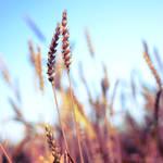wheat square. by simoendli