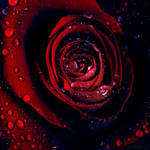 dark rose. by simoendli