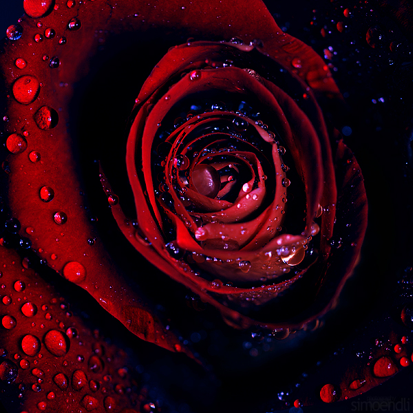 dark rose. by simoendli