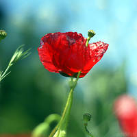 poppy love. by simoendli